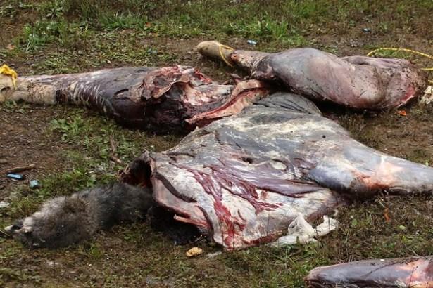 moose-carcass.jpg
